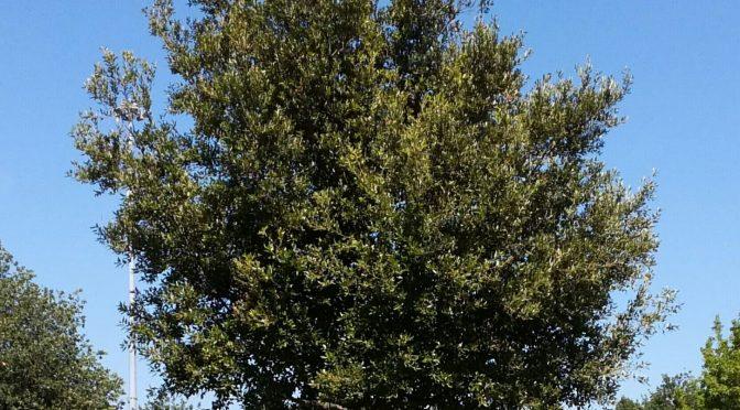 Verde pubblico, al via la piantumazione di diciassette alberi tra Seano e Comeana